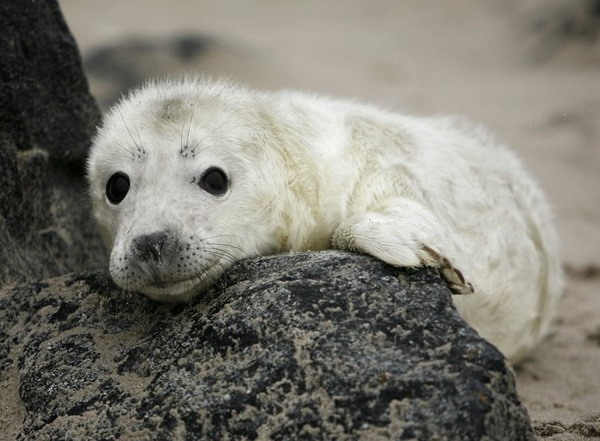 A female grey seal pup is pictured on the German island of Helgoland